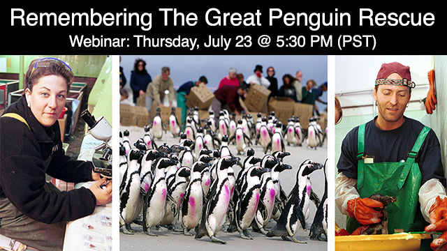 """Photo for Webinar """"Remembering the Treasure Oil Spill: The Great Penguin Rescue"""" by International Bird Rescue"""
