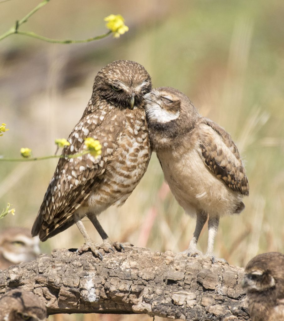 Photo of Burrowing Owls by Sandrine Biziaux-Scherson