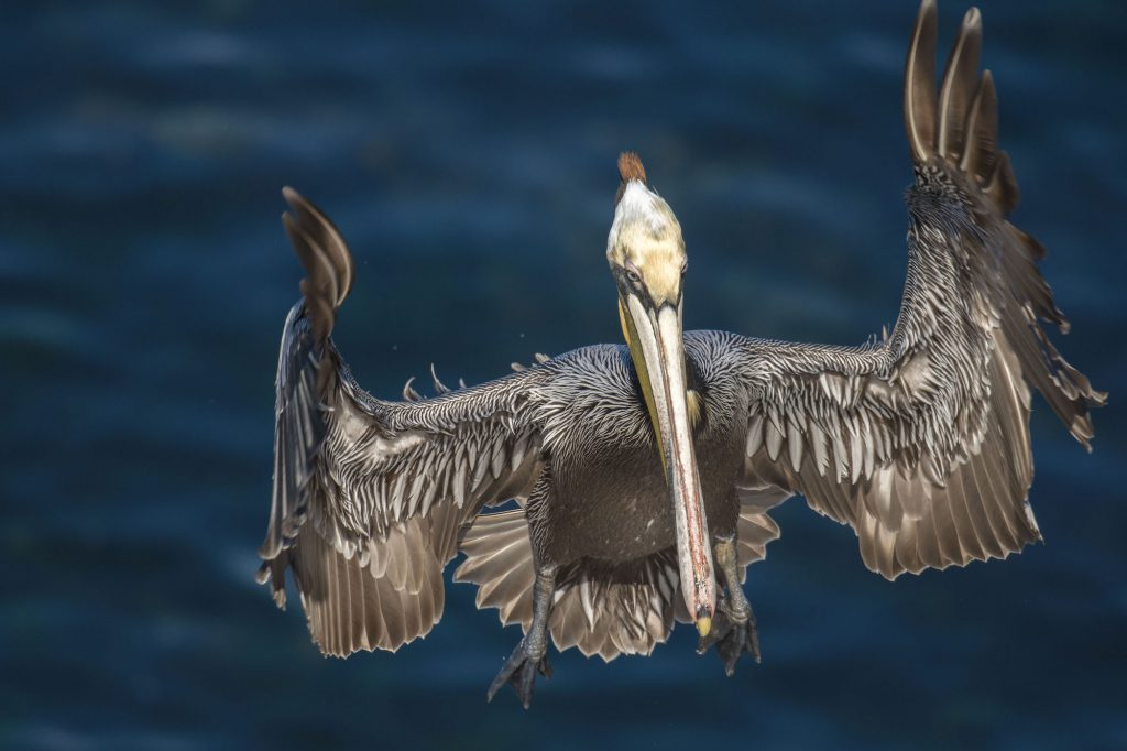 Photo of Brown Pelican landing by Sandrine Biziaux-Scherson