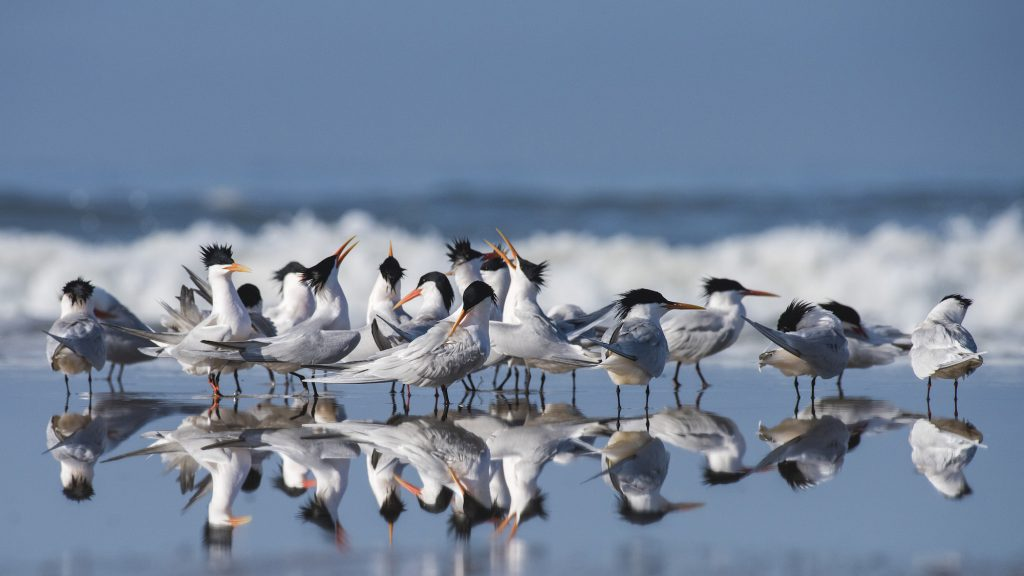 Photo of Elegant Terns by Sandrine Biziaux-Scherson