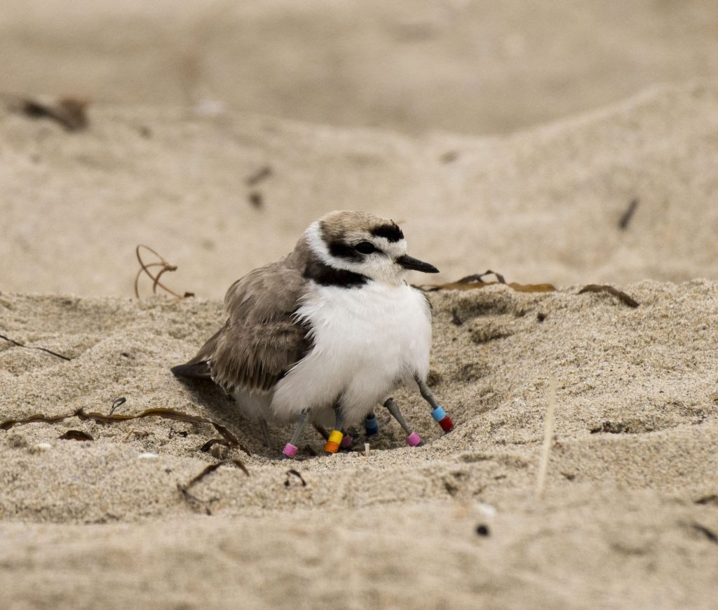 Photo of Snowy Plover by Sandrine Biziaux-Scherson